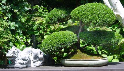 bonsai neuss bonsai bonsaibaum neuss nrw. Black Bedroom Furniture Sets. Home Design Ideas